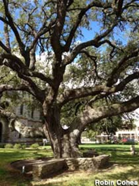 famous hanging tree goliad texas