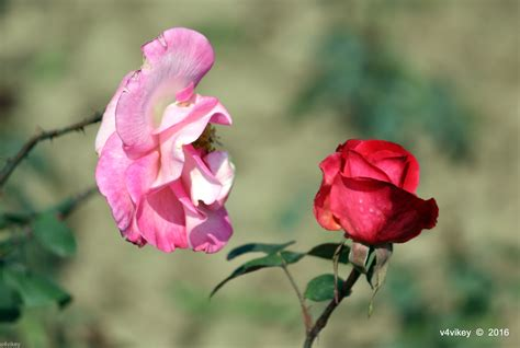 different color roses pictures of two colorful roses 171 wallpaper tadka