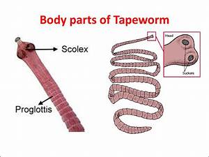 Topic  Flatworms
