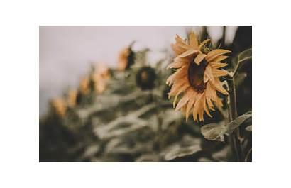 Sunflower Background Summer Taking Test Pexels Festival