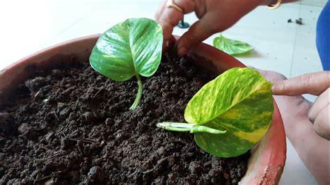 grow money plant  soil     plants