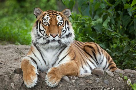 Survivors Of The Cold Interesting Facts About Siberian Tigers