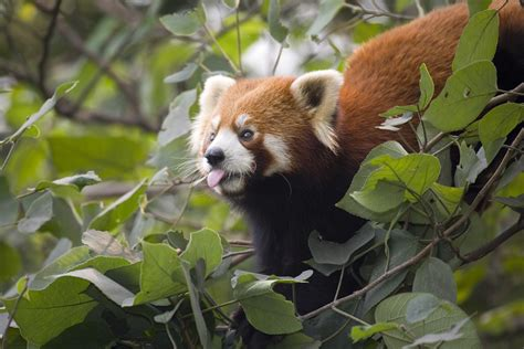 Red Panda In China  Human Nature Conservation