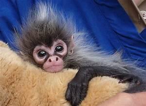 Meet Estela, the Hand-Reared Baby Spider Monkey - ZooBorns
