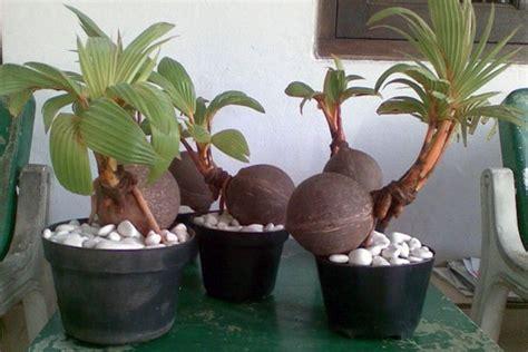 mudah membuat bonsai kelapa bercabang cepat