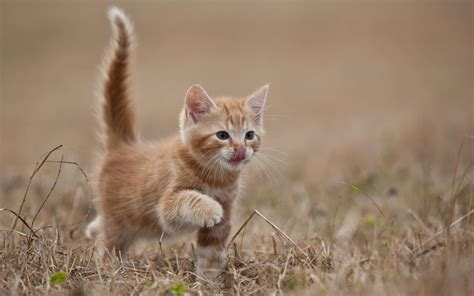 Kitten Backgrounds by Kittens Hd Wallpapers Wallpaper Cave