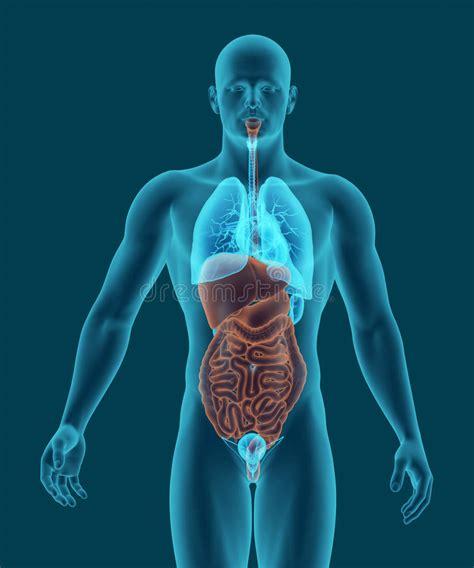 il corpo umano gli organi interni il corpo umano con gli organi interni 3d dell apparato