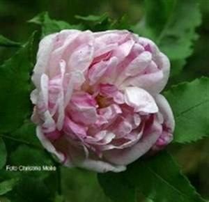 Alte Rosensorten Stark Duftend : rosensorten duftrosen gro gros choux de hollande gros ~ Michelbontemps.com Haus und Dekorationen