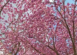 Rosa Blühende Bäume April : fotos von rosa farbe blumen ast bl hende b ume ~ Michelbontemps.com Haus und Dekorationen