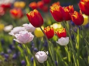 Wann Blühen Narzissen : tulpen archive wo blumenbilder wachsen ~ Eleganceandgraceweddings.com Haus und Dekorationen