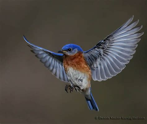 bluebird in flight www pixshark com images galleries