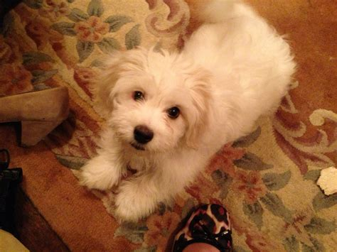 bichon dogs maltese dogs shih tzu dogs puppies pictures of