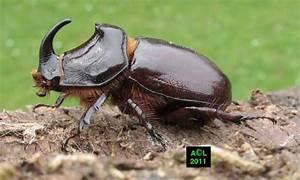 Insecte Qui Mange Le Bois : le rhinoceros ou oryctes oryctes nasicornis biologie et ~ Farleysfitness.com Idées de Décoration