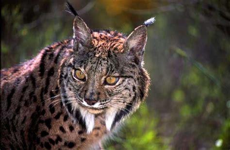 lynx animal wildlife