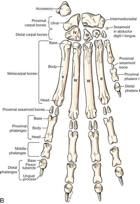 Dog Leg Bone Anatomy Gallery Human Anatomy Organs Diagram