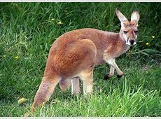 National Animal Of Australia Red Kangaroo 123Countriescom