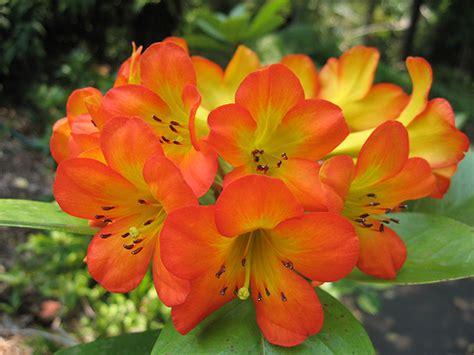 orange flowers orange flowers
