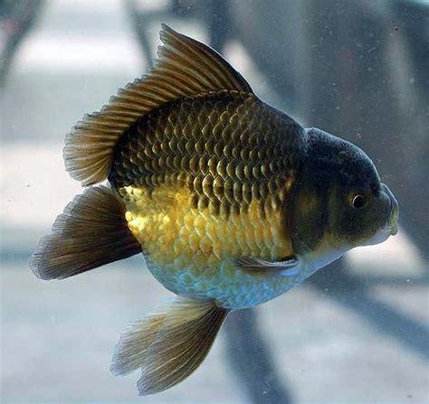 Meteor Goldfish