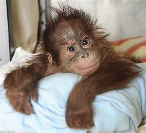Orphan orangutan at Monkey World in Dorset just wants a ...