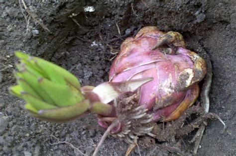 stargazer lilies or the lizard plant blanken