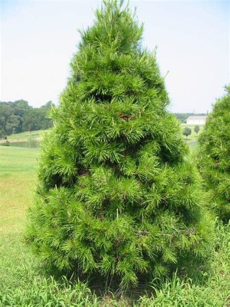 Kiefer Als Weihnachtsbaum by Virginia Pine 171 The Tree Patch