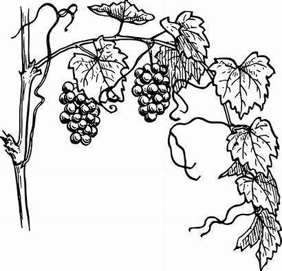 Grapevine Clip Vine Grape Grapes Drawing Outline