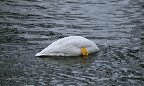 trumpeter swan lock swans haven bird feeding nemesisbird