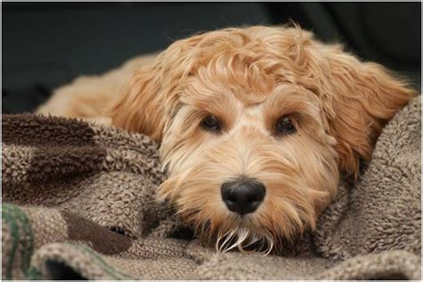 Hypoallergenic Dogs Do Not Shed by 25 Best Ideas About Hypoallergenic Breed On