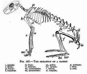 Image  A Rabbit Skeleton That Has Various Bones Labelled