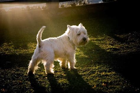 how are dogs in heat symptoms how you know your dog in heat tail and fur