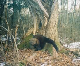 where do fisher cats live 6 gorgeous pictures of fisher cats in cat biological