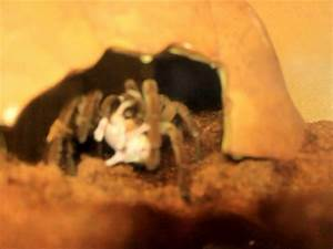 Goliath Bird Eating Spider Attacks and Eats Baby Mouse ...