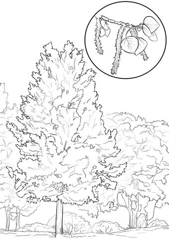 aspen tree coloring page  printable coloring pages