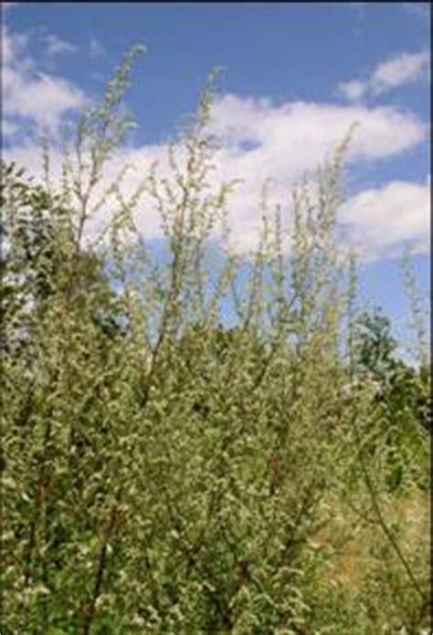 universitaetsklinikum des saarlandes allergene pflanzen