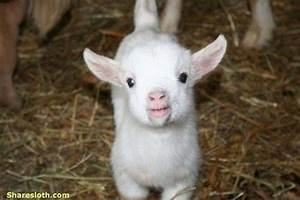 Cute Baby Goat Pictures - Sharesloth
