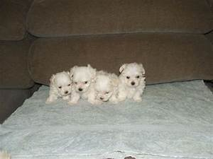 Teacup Maltese Puppies For Sale Extremely tiny Maltese ...