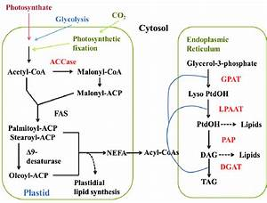 Metabolic Pathway Of Tag Formation And The Kennedy Pathway