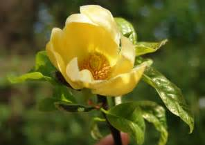 magnolia flowers fleurs arbustes magnolia yellow river 3