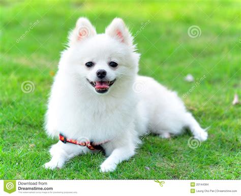 adorable white pomeranian stock photo image  lovely