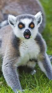 lemur, color, eyes, grass | P&A Love Lemurs! | Pinterest