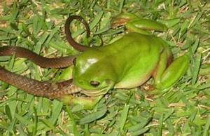Tech & Entertainment Collection: Frog Eat Snake ...
