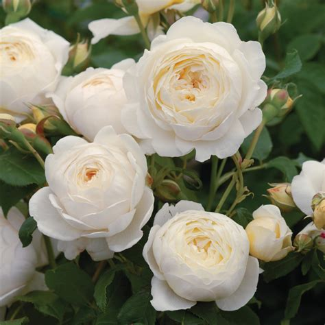 austen roses claire austin highly recommended popular searches