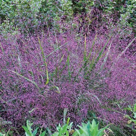 where to buy purple grass top 28 where to buy purple grass buy purple fountain grass in kitchener waterloogreenway