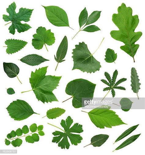 Leaf Stock Photos And Pictures  Getty Images