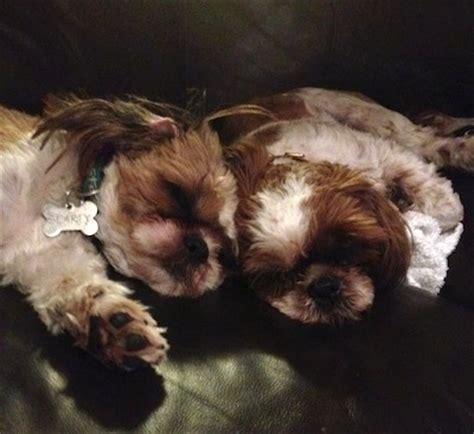 shih tzu dog breed information  pictures