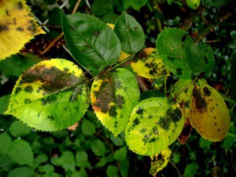 rosen gelbe blätter t 252 ckische pilze plagen die schon im fr 252 hjahr
