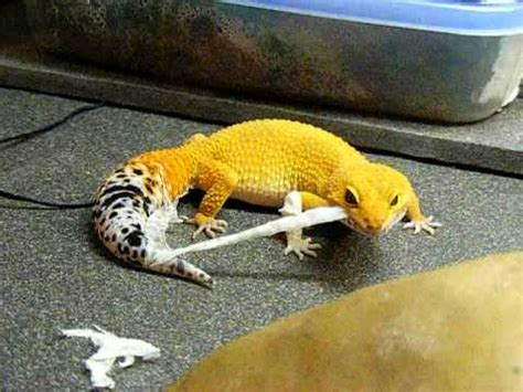 leopard gecko shedding skin shtctb leopard gecko shedding hypo tangerine
