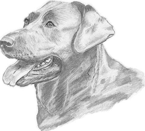 labrador dog drawing drawing  catherine roberts