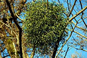 Image Gallery Mistletoe Parasitism