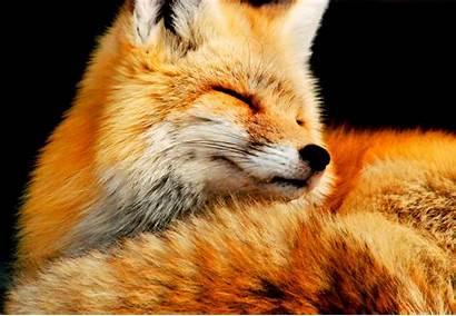 Fox Desktop Animal Backgrounds Computer Wallpapers Foxes
